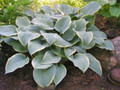'Frosted Dimples' Hosta Courtesy of Don Dean