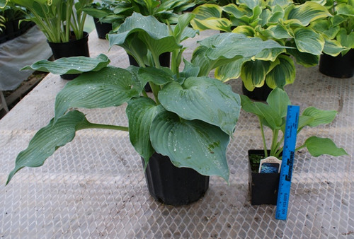 'Blue Angel' Two Gallon Hosta From NH Hostas