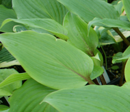 'Miss Ruby' Hosta From NH Hostas