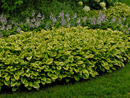 'Golden Tiara' Hosta Courtesy of Walters Gardens