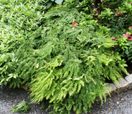 Five Finger Maidenhair Fern From NH Hostas
