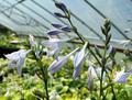 'Lederhosen' Hosta Flower From NH Hostas