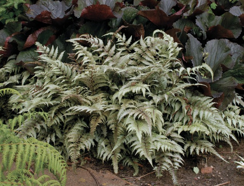 Japanese Painted Fern Courtesy of Walters Gardens