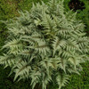 Japanese Painted Fern Courtesy of Casa Flora