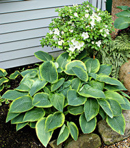 'Glory Hallelujah' Hosta From NH Hostas