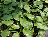 'Plum Nutty' Hosta From NH Hostas
