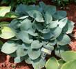 'Blue Jay' Hosta From NH Hostas