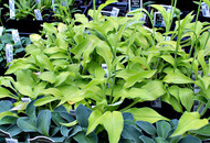 'Blonde Elf' Hosta From NH Hostas