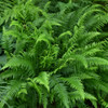 Japanese Beech Fern Courtesy of Casa Flora