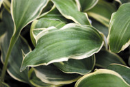 'Deliverance' Hosta Courtesy of Shady Oaks Nursery