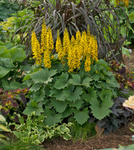 Ligularia 'Bottle Rocket' Courtesy of Walters Gardens