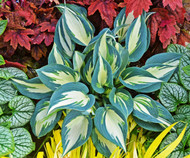 'Ivory Queen' Hosta Courtesy of Walters Gardens