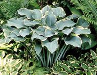'Regal Splendor' Hosta Courtesy of Walters Gardens