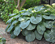 sieboldiana 'Elegans' Hosta Courtesy of Walters Gardens