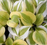 'Heavenly Tiara' Hosta Courtesy of Walters Gardens