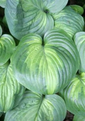 'Holy Mole' Hosta