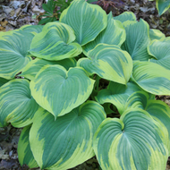 'Earth Angel' Hosta Courtesy of Walters Garden