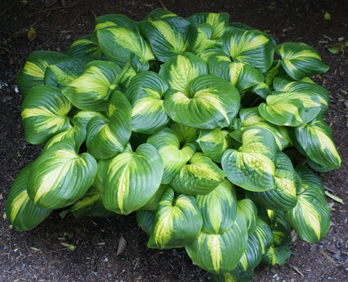 'Cathedral Windows' From NH Hostas