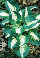 'Half and Half' Hosta Courtesy of Walters Gardens