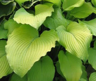 'Great Lakes Gold' Hosta Courtesy of Q&Z Nursery