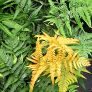 Golden Mist Wood Fern Courtesy of Casa Flora