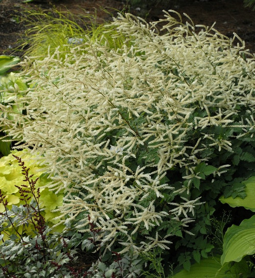 Aruncus 'Misty Lace' Courtesy of Walters Gardens