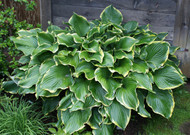'Leading Lady' Hosta From NH Hostas
