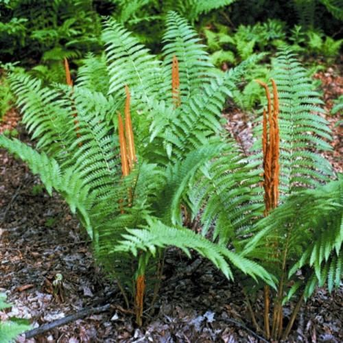 Cinnamon Fern Courtesy of Casa Flora