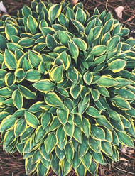 'Hush Puppie' Hosta