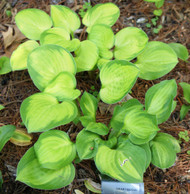 'Heart and Soul' Hosta From NH Hostas