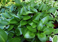'Devon Green' Hosta From NH Hostas