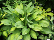 'Gold Regal' Hosta From NH Hostas