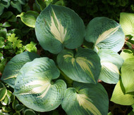 'Dream Weaver' Hosta From NH Hostas
