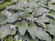 'Coal Miner' Hosta Courtesy of Olga Petryszyn