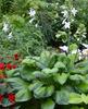 'Guacamole' Hosta Courtesy of Walters Gardens