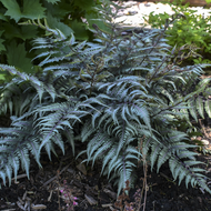 Godzilla Painted Fern Courtesy of Walters Gardens