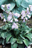 'Blue Mouse Ears' Hosta Courtesy of Walters Gardens