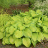 'Stained Glass' Hosta Courtesy of Walters Gardens