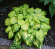 'Stained Glass' Hosta From NH Hostas