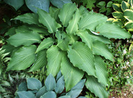 'Cutting Edge' Hosta From NH Hostas