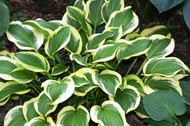 'Garden Delight' Hosta From NH Hostas