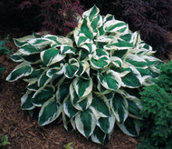 'Patriot' Hosta Courtesy of Walters Gardens