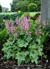 Heucherella 'Pink Fizz' Courtesy of Walters Gardens