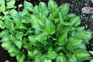'Emerald Necklace' Hosta From NH Hostas