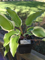 'Lady Luck' Hosta Courtesy of Sherri Brown