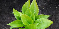 'Invincible Spirit' Hosta Courtesy of Naylor Creek
