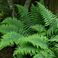 Robust Male Fern Courtesy of Casa Flora