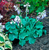 'Church Mouse' Hosta Courtesy of Walters Gardens