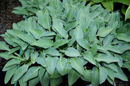 'Kiwi Jordan' Hosta From NH Hostas