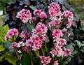 Bergenia 'Sakura' Courtesy of Walters Gardens